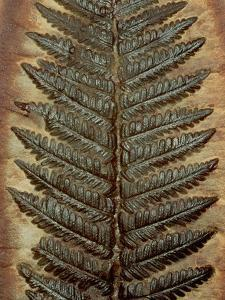 Carboniferous Fossil Fern by Kevin Schafer