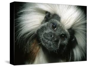 Cotton-Top Tamarin, Colombia by Kevin Schafer