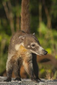 Cozumel Coati (Nasua Nelsoni) Cozumel Island, Mexico. Critically Endangered Endemic Species by Kevin Schafer