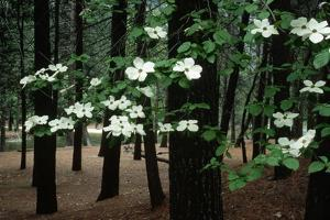 Dogwood in Bloom by Kevin Schafer