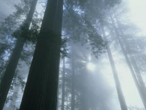 Foggy Dawn in Lady Bird Grove, Del Norte County, Redwood National Park, California by Kevin Schafer
