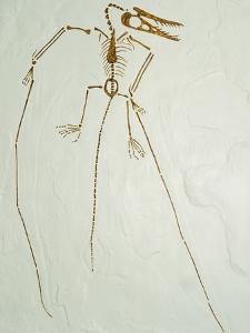 Fossil Pterosaur Ramphorhynchus gemmingi found in Bavaria by Kevin Schafer