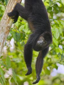 Guatemalan Black Howler Monkey (Alouatta Pigra) Climbing by Kevin Schafer
