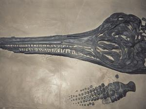 Head of a Jurassic Icthyosaur Fossil by Kevin Schafer