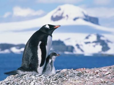 Mother and baby gentoo penguins by Kevin Schafer