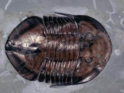 Ordovician Isotelus Gigas Trilobite Fossil by Kevin Schafer