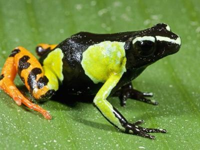 Painted Mantella in Andasibe-Mantadia National Park by Kevin Schafer