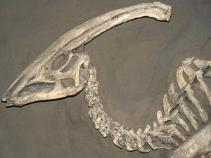 Parasaurolophus Dinosaur Fossil by Kevin Schafer