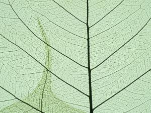 Peepal Leaf Detail, Popular Medicinal Plant, India by Kevin Schafer