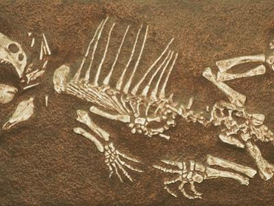 Pelycosaur fossil found in Texas by Kevin Schafer