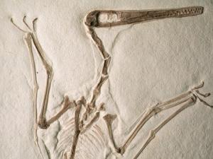 Pterodactylus Dinosaur Fossil from the Late Jurassic Era by Kevin Schafer