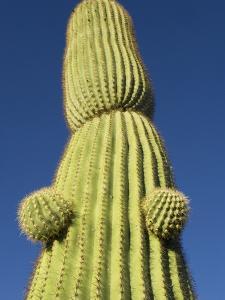 Saguaro Cactus in Tinajas Altas Mountains by Kevin Schafer