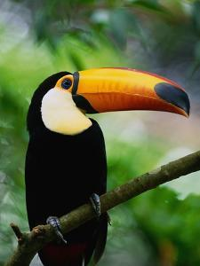 Toco Toucan by Kevin Schafer