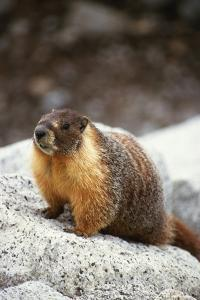 Yellow-Bellied Marmot by Kevin Schafer