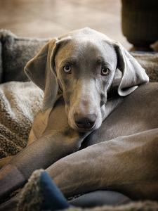 Weimaraner by Kevin Sherman