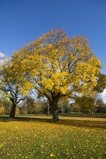 Kew Autumn Tree-Charles Bowman-Photographic Print