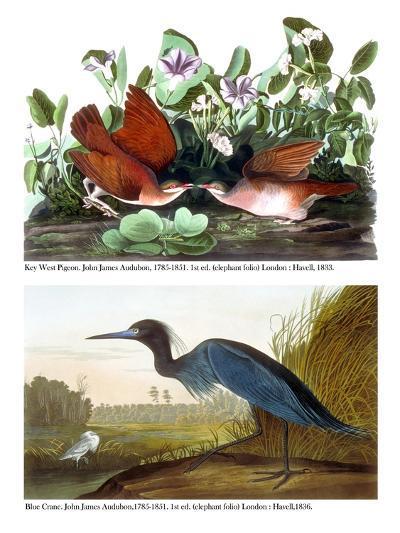 Key West Pigeon and Blue Crane, C.1833-36-John James Audubon-Giclee Print