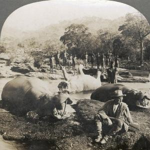Result of a Morning's Hippopotamus Hunt on Mlembo River, Rhodesia, Africa, 1910 by Keystone View Company