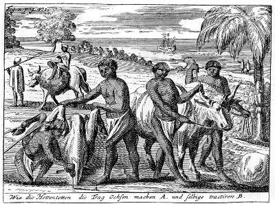 Khoikhois Breaking-In Oxen, South Africa, 18th Century--Giclee Print