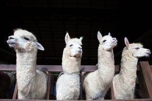 Face of Four Funny Alpacas Llama in Farm by khunaspix