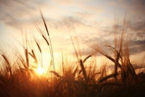 Landscape Fantastic Sunset on the Wheat Field Sunbeams Glare by Kichigin