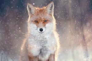 Red Fox in Winter Forest Pretty by Kichigin