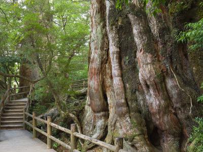 Kigensugi Giant Sugi Cedar Tree, Estimated to Be 3000 Years Old, Yaku-Shima, Kyushu, Japan-Schlenker Jochen-Photographic Print