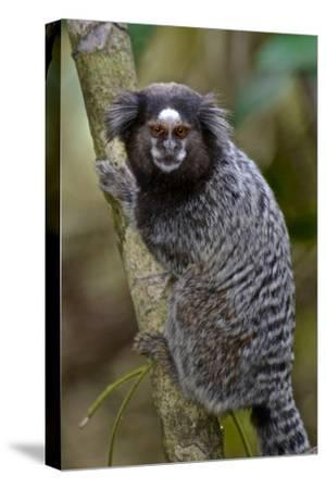 A Black Tufted Ear Marmoset, Callithrix Penicillata, in the Atlantic Forest