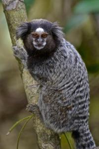 A Black Tufted Ear Marmoset, Callithrix Penicillata, in the Atlantic Forest by Kike Calvo