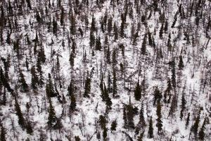 A Boreal Forest in Winter by Kike Calvo
