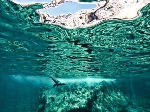 A California Sea Lion, Zalophus Californianus, Swims in Waters Off Los Islotes by Kike Calvo