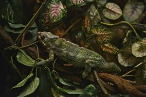 A Captive Panther Chameleon, Furcifer Pardalis by Kike Calvo