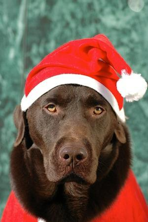 A Chocolate Labrador Retriever Dog Dressed as Santa Claus by Kike Calvo