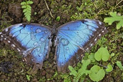 A Dead Blue Morpho Butterfly, Morpho Peleides, Covered in Dew by Kike Calvo