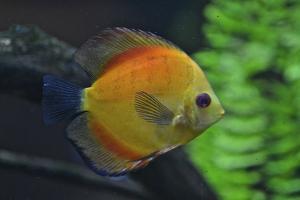 A Discus Fish, Symphysodon Aequifasciatus, a South American Cichlid by Kike Calvo