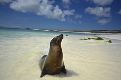 A Galapagos Sea Lion, Zalophus Wollebaeki, on Beach in the Galapagos Islands, Ecuador by Kike Calvo