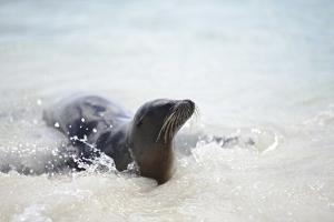 A Galapagos Sea Lion, Zalophus Wollebaeki, on the Beach of Lobos De Tierra by Kike Calvo