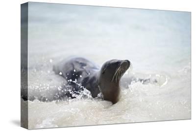 A Galapagos Sea Lion, Zalophus Wollebaeki, on the Beach of Lobos De Tierra