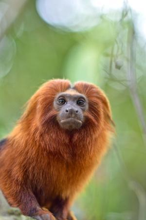 A Golden Lion Tamarin, Leontopithecus Rosalia, in the Atlantic Forest by Kike Calvo