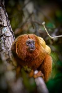 A Golden Lion Tamarin, Leontopithecus Rosalia, Rests in the Atlantic Forest by Kike Calvo