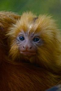 A Golden Lion Tamarin Young in the Atlantic Forest by Kike Calvo