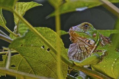 A Green Iguana Blends into the Vegetation in Costa Rica's Manuel Antonio National Park by Kike Calvo