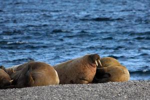 A Group of Walrus, Odobenus Rosmarus, Rest Along Maxwell Bay on Devon Island by Kike Calvo
