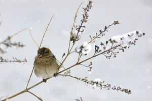 A House Sparrow Bird, Passer Domesticus, Sitting on a Tree Branch During a Blizzard by Kike Calvo