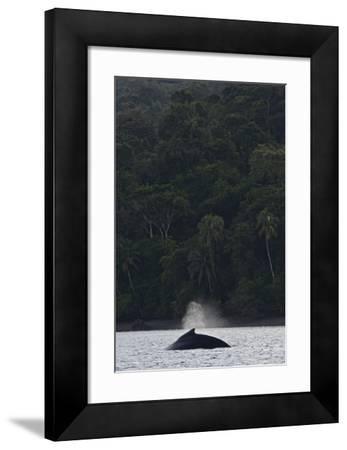 A Humpback Whale, Megaptera Novaeangliae, in the Pacific Ocean by Kike Calvo