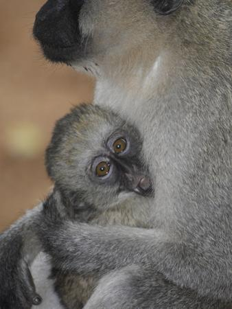 A Lack Faced Vervet Monkey, Cercopithecus Aethiops, and Her Baby by Kike Calvo