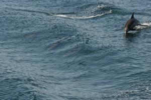 A Long-Beaked Common Dolphin, Delphinus Capensis, Leaps in the Waters of the Sea of Cortez by Kike Calvo