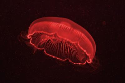 A Moon Jellyfish, Aurelia Aurita by Kike Calvo