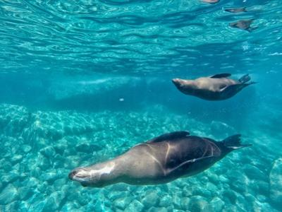 A Pair of California Sea Lions, Zalophus Californianus, Swim in Waters Off Los Islotes by Kike Calvo