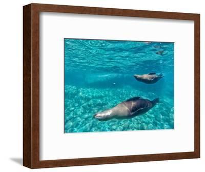 A Pair of California Sea Lions, Zalophus Californianus, Swim in Waters Off Los Islotes